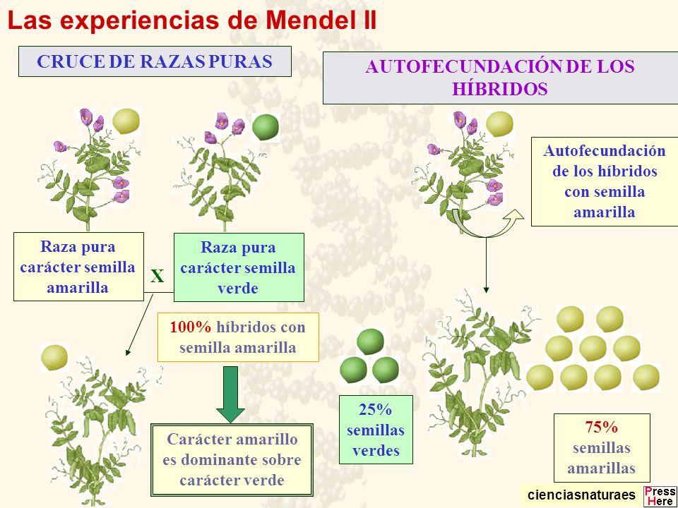 Las experiencias de Mendel II CRUCE DE RAZAS PURAS AUTOFECUNDACIÓN DE LOS HÍBRIDOS X Autofecundación de los híbridos con semilla amarilla 75% semillas