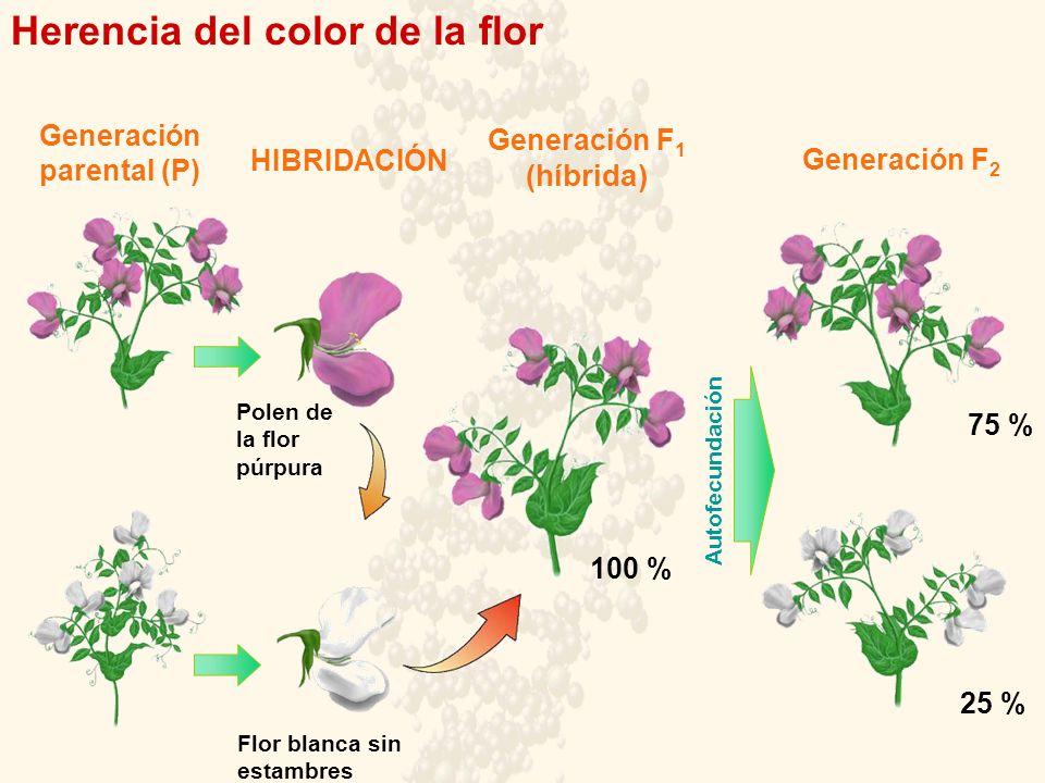 Herencia del color de la flor Generación parental (P) HIBRIDACIÓN Generación F 1 (híbrida) 100 % 75 % 25 % Generación F 2 Autofecundación Polen de la flor púrpura Flor blanca sin estambres