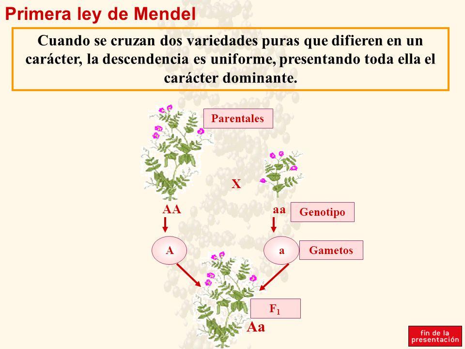 Primera ley de Mendel Cuando se cruzan dos variedades puras que difieren en un carácter, la descendencia es uniforme, presentando toda ella el carácter dominante.