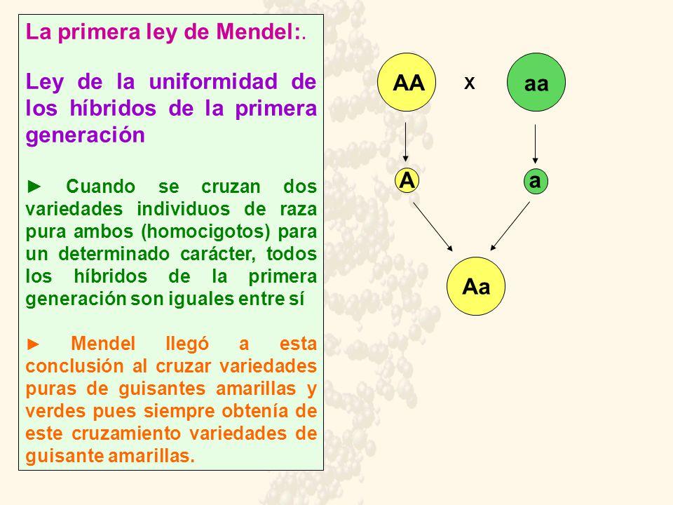 La primera ley de Mendel:. Ley de la uniformidad de los híbridos de la primera generación Cuando se cruzan dos variedades individuos de raza pura ambo