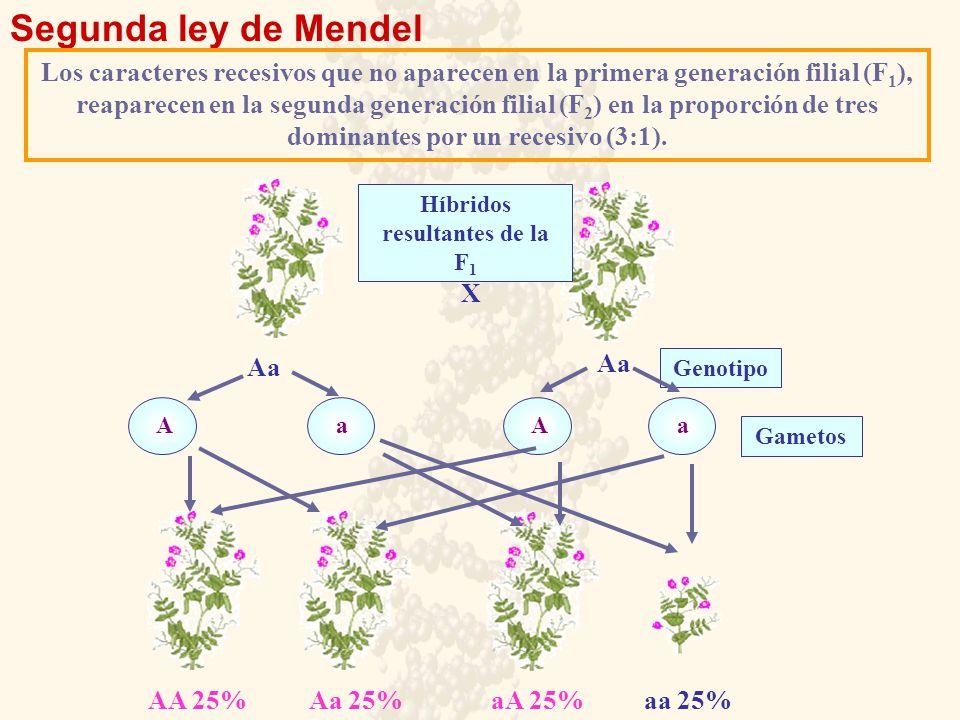 Segunda ley de Mendel Los caracteres recesivos que no aparecen en la primera generación filial (F 1 ), reaparecen en la segunda generación filial (F 2 ) en la proporción de tres dominantes por un recesivo (3:1).