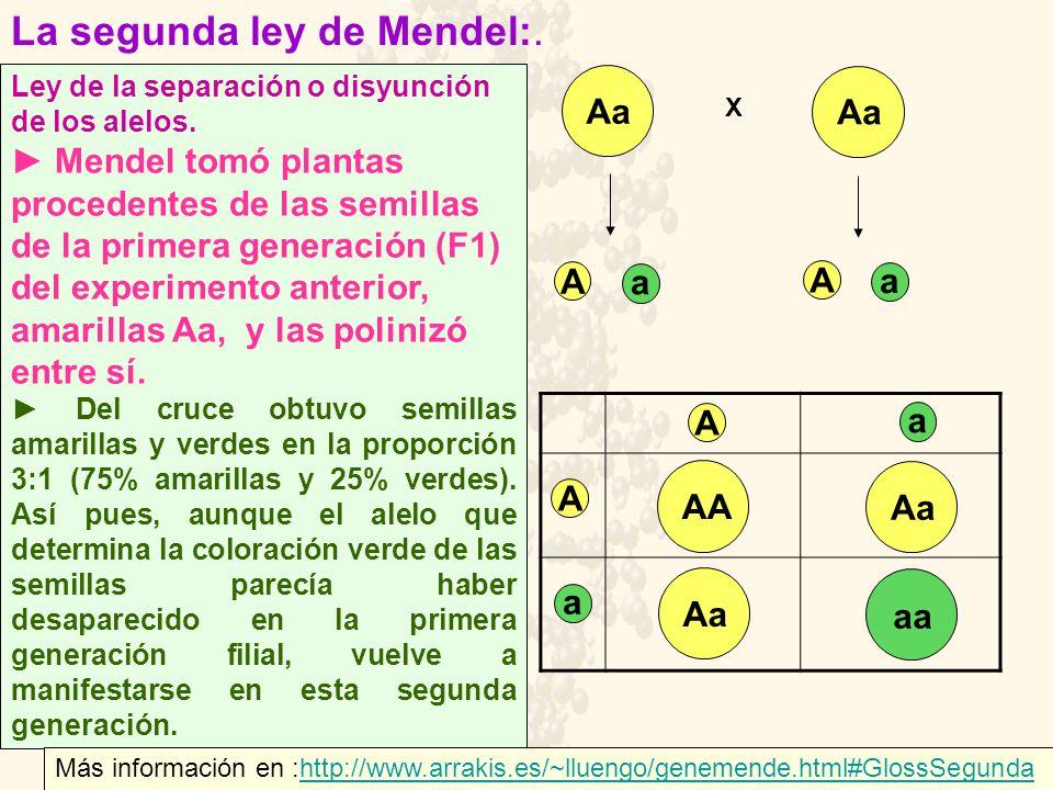Ley de la separación o disyunción de los alelos. Mendel tomó plantas procedentes de las semillas de la primera generación (F1) del experimento anterio