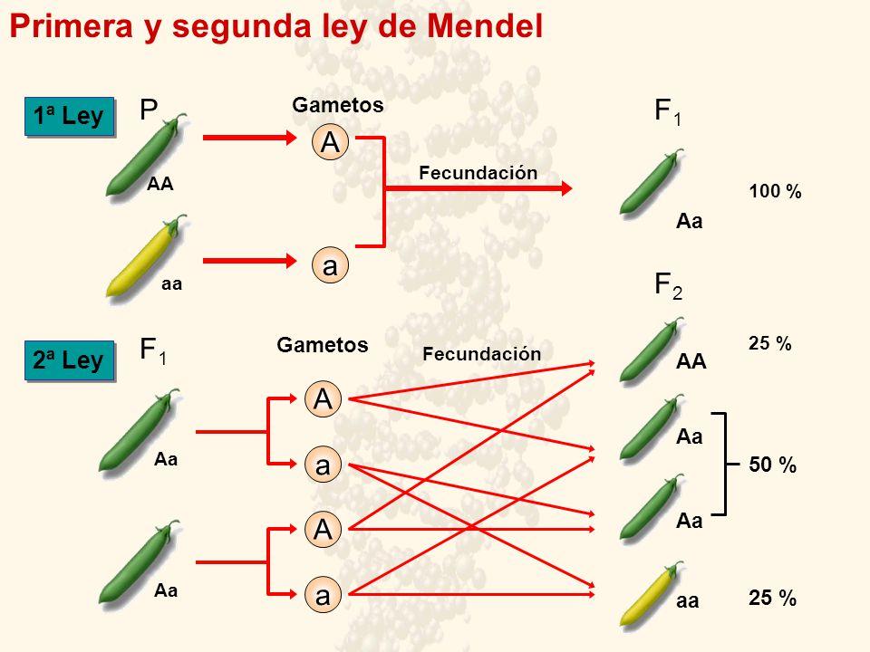 Aa Primera y segunda ley de Mendel AAaa Gametos F1F1 Aa Aa Fecundación 100 % Aa AA Aa P aa a A a A 1ª Ley 2ª Ley 25 % 50 % Fecundación F1F1 Gametos F2F2