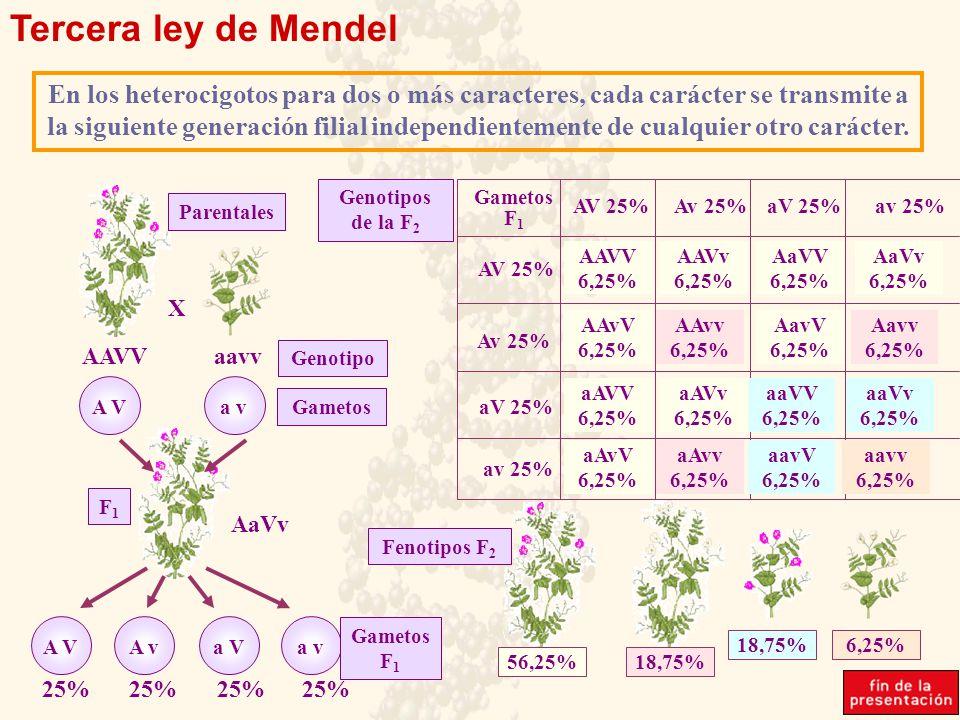 Tercera ley de Mendel En los heterocigotos para dos o más caracteres, cada carácter se transmite a la siguiente generación filial independientemente de cualquier otro carácter.