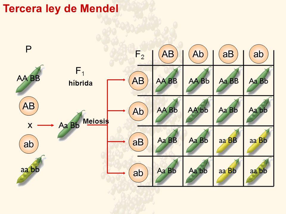 Tercera ley de Mendel P AB Ab aB ab ABAbaBab F2F2 AB ab x F1F1 híbrida Meiosis