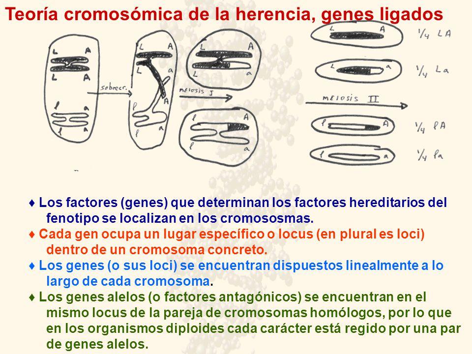 Los factores (genes) que determinan los factores hereditarios del fenotipo se localizan en los cromososmas. Cada gen ocupa un lugar específico o locus