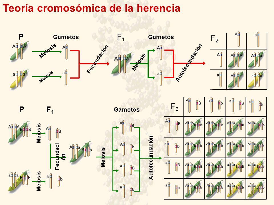 Teoría cromosómica de la herencia Gametos F1F1 Fecundación P F1F1 Gametos Meiosis Gametos Autofecundación F2F2 Meiosis P F2F2 Fecundaci ón Meiosis Autofecundación