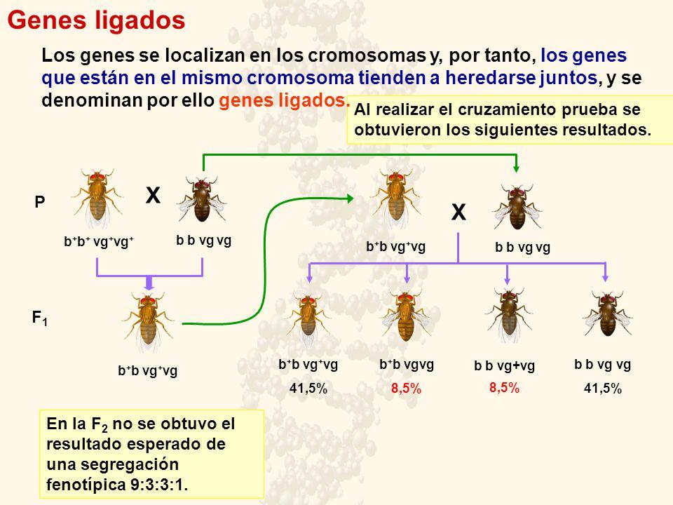 Genes ligados X X P F1F1 b + b + vg + vg + b b vg vg b + b vgvg 8,5% b b vg vg b + b vg + vg 41,5% b + b vg + vg b b vg+vg 8,5% b b vg vg 41,5% En la F 2 no se obtuvo el resultado esperado de una segregación fenotípica 9:3:3:1.