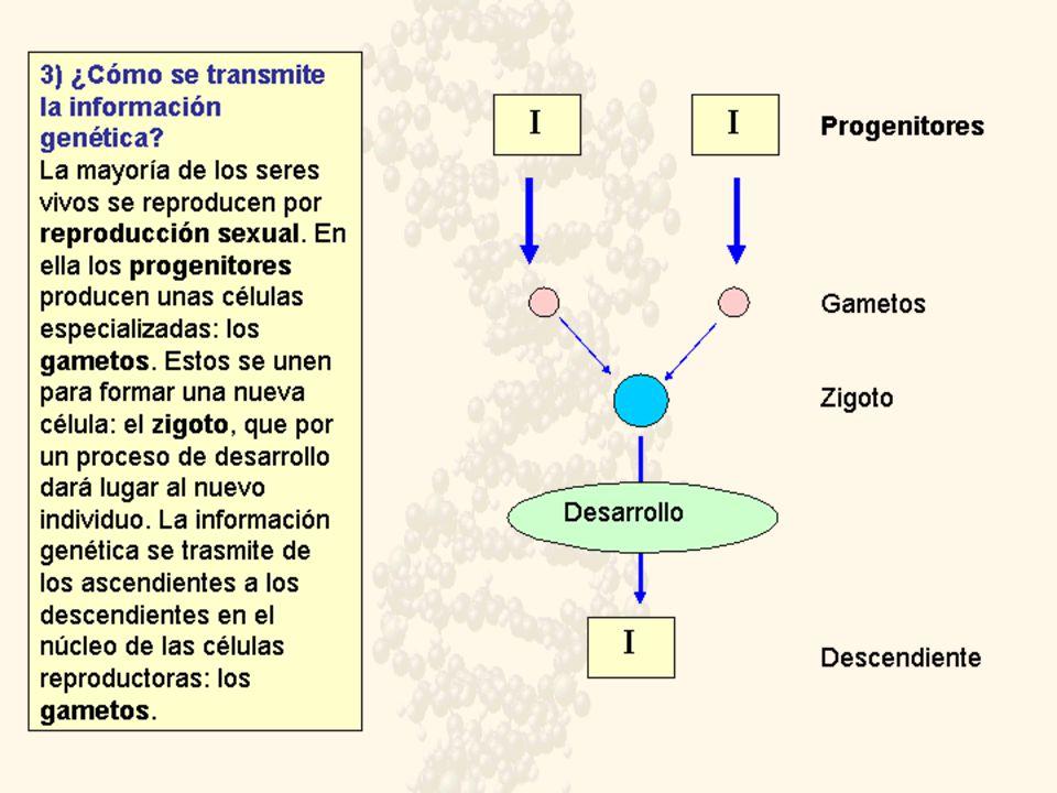 Determinación del sexo en abejas Hembra Macho Hembra PARTENOGÉNESIS FECUNDACIÓN MEIOSIS MITOSIS Células somáticas Gametos En abejas y avispas la herencia del sexo depende de la dotación cromosómica, haploide o diploide.