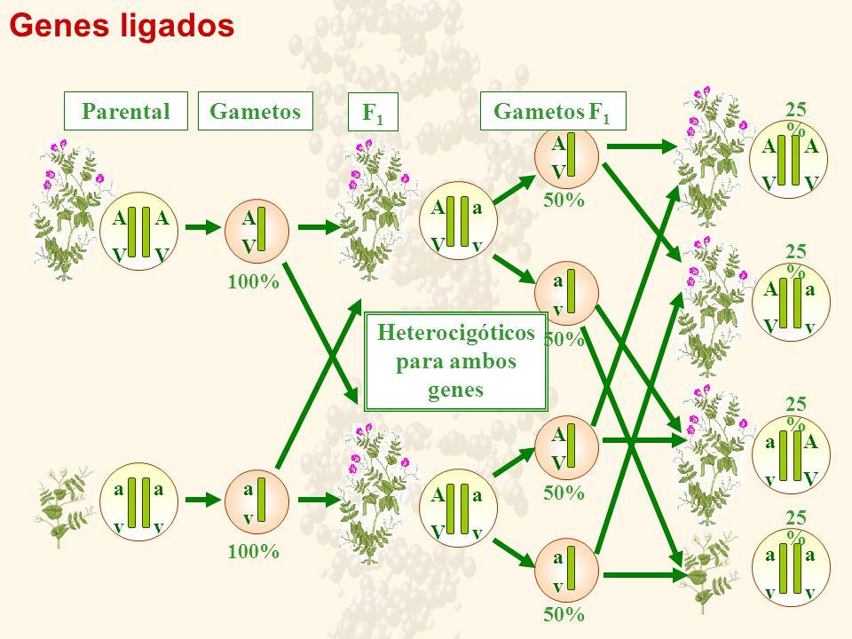 Genes ligados AVAV AVAV avav avav AVAV avav AVAV avav AVAV avav AVAV avav AVAV avav AVAV avav AVAV AVAV avav avav avav AVAV GametosParental F1F1 Gametos F 1 Heterocigóticos para ambos genes 100% 50% 25 %
