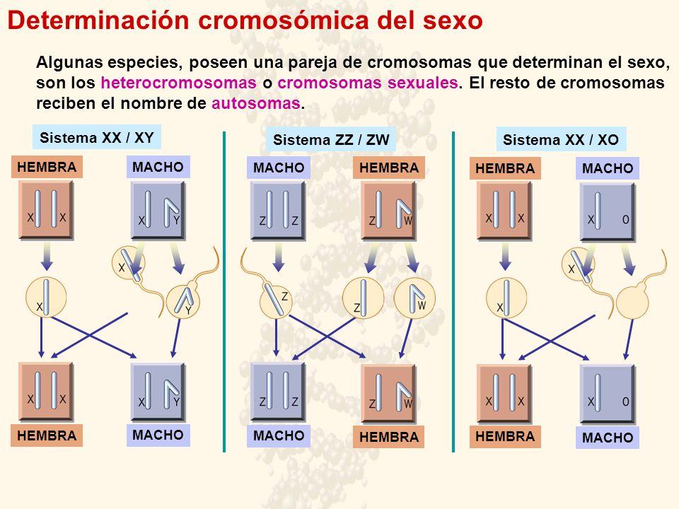 Determinación cromosómica del sexo Algunas especies, poseen una pareja de cromosomas que determinan el sexo, son los heterocromosomas o cromosomas sex