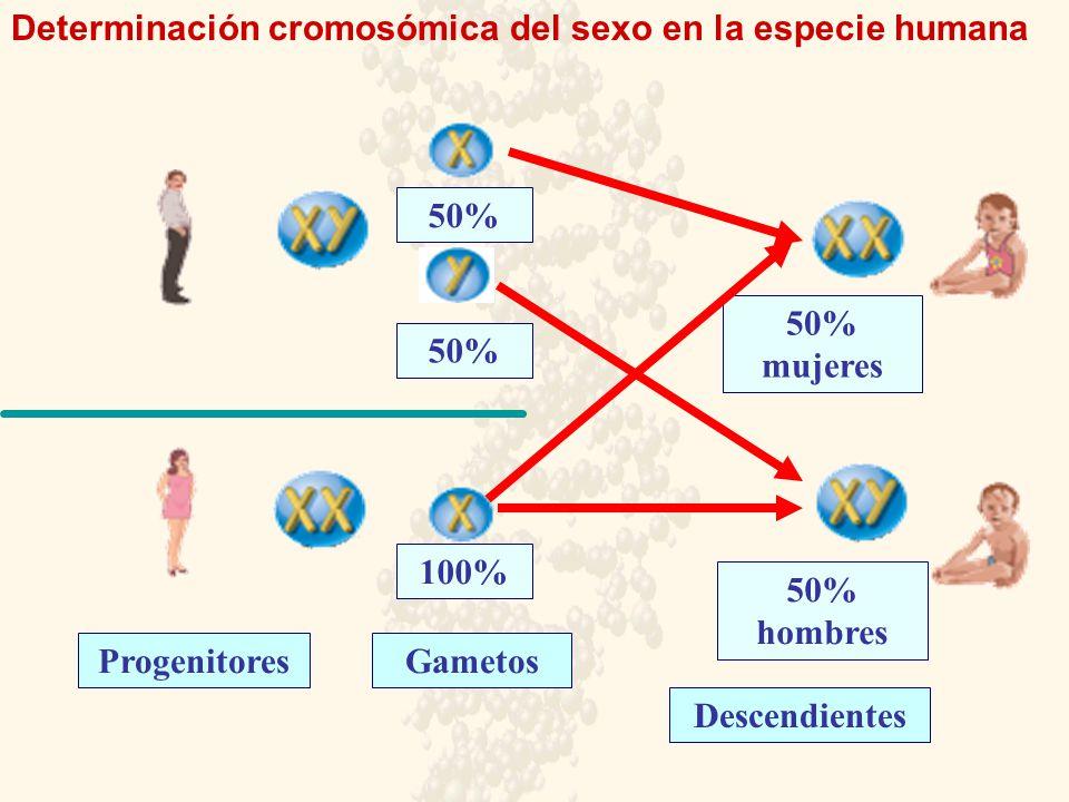 Determinación cromosómica del sexo en la especie humana ProgenitoresGametos Descendientes 50% 100% 50% 50% hombres 50% mujeres