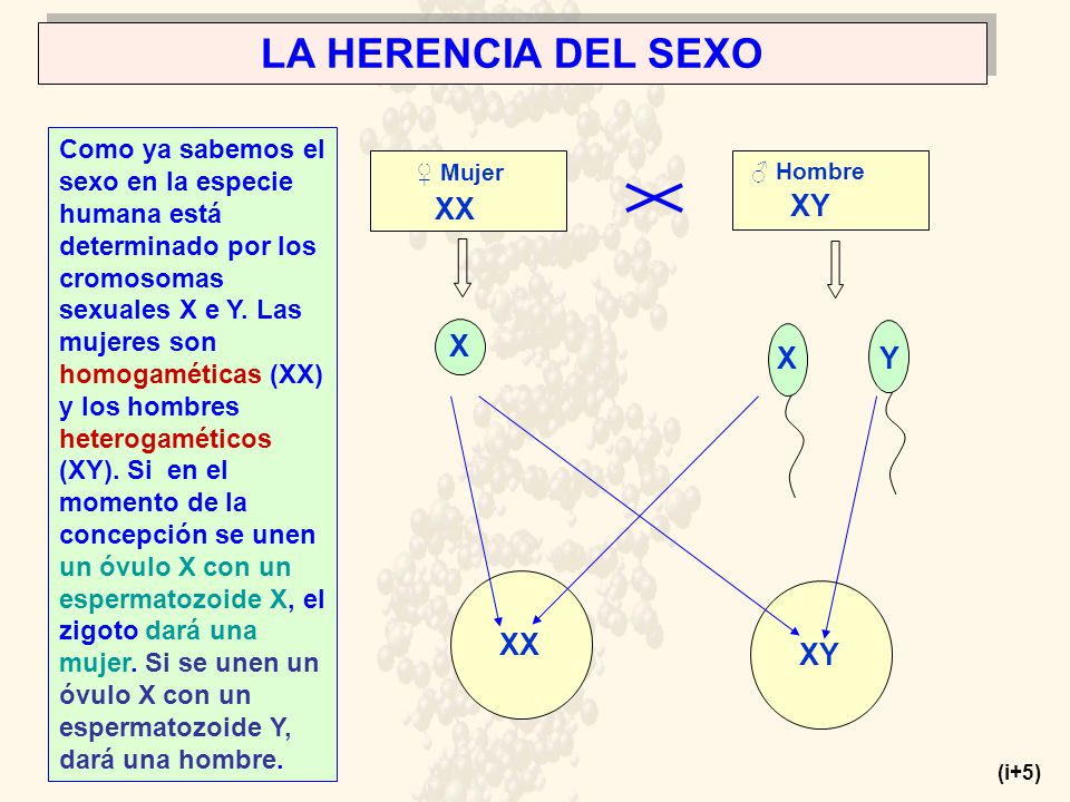 LA HERENCIA DEL SEXO Como ya sabemos el sexo en la especie humana está determinado por los cromosomas sexuales X e Y.