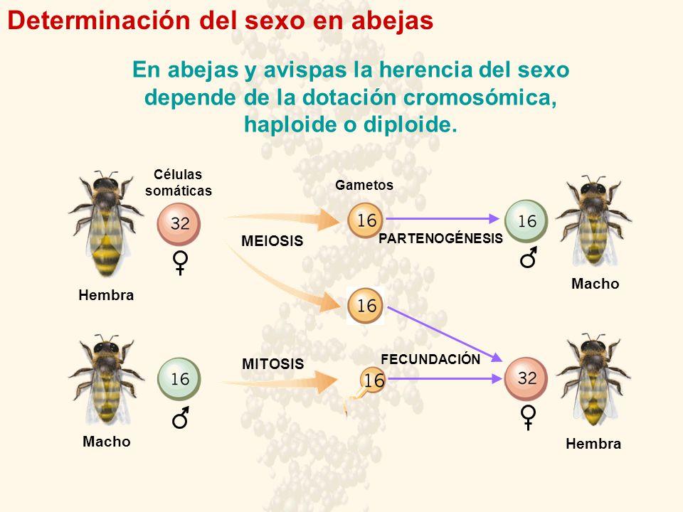 Determinación del sexo en abejas Hembra Macho Hembra PARTENOGÉNESIS FECUNDACIÓN MEIOSIS MITOSIS Células somáticas Gametos En abejas y avispas la heren