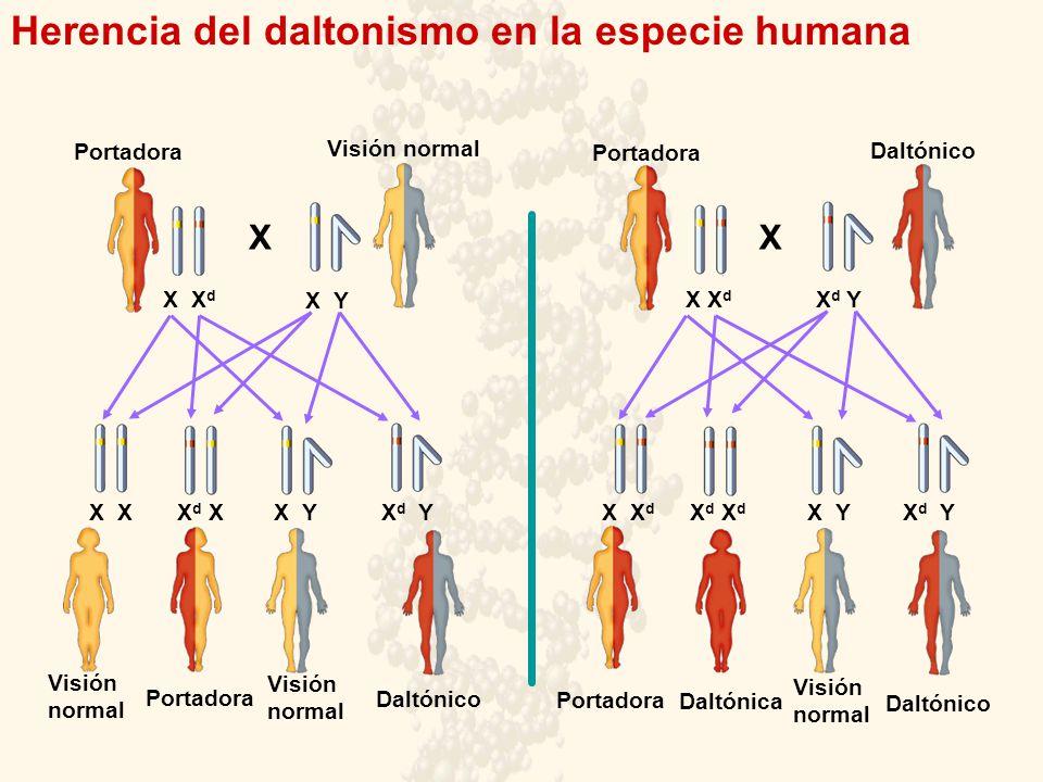 Herencia del daltonismo en la especie humana Daltónico Portadora Visión normal XX X X d X Y X d Y X X d X X X d X d X Y X d Y X Y X d Y Visión normal