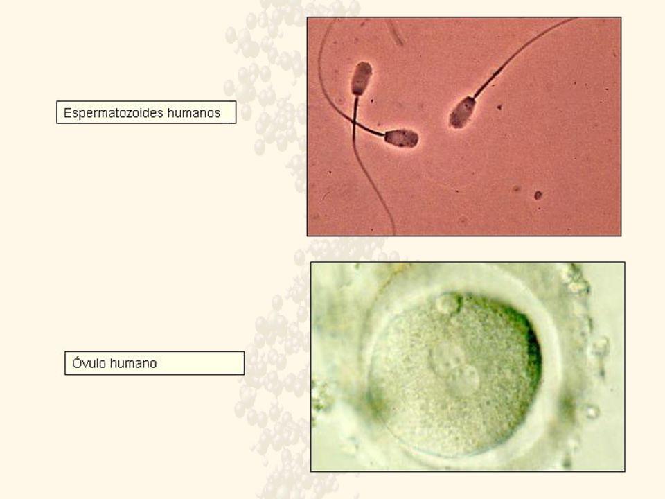HERENCIA LIGADA AL SEXO El cromosoma X es mayor que el Y en ellos se distingue una zona que llevan los mismos genes llamada segmento homólogo y otra zona con genes diferentes, segmento diferencial.