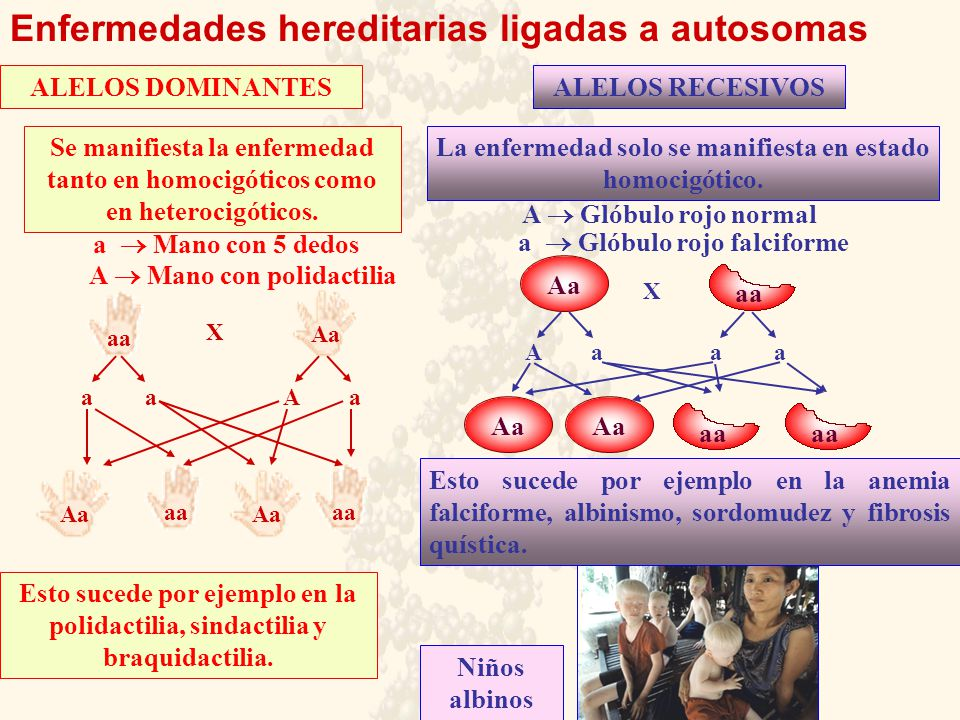 aa Enfermedades hereditarias ligadas a autosomas ALELOS DOMINANTESALELOS RECESIVOS Aa aa Se manifiesta la enfermedad tanto en homocigóticos como en he
