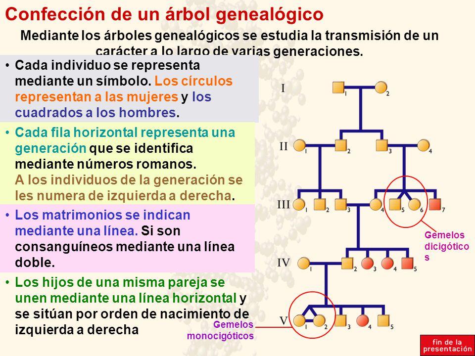 Confección de un árbol genealógico Mediante los árboles genealógicos se estudia la transmisión de un carácter a lo largo de varias generaciones. Cada