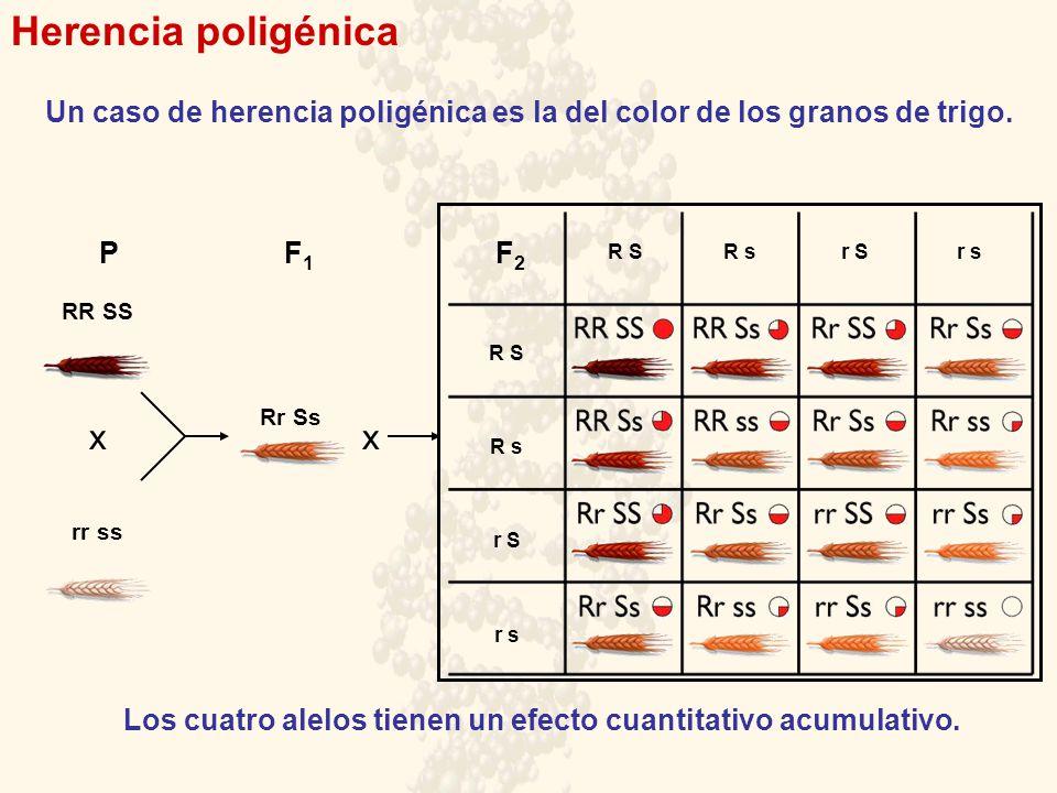 Herencia poligénica PF1F1 F2F2 RR SS rr ss Rr Ss xx Un caso de herencia poligénica es la del color de los granos de trigo. R s R S r S r s R sR Sr Sr