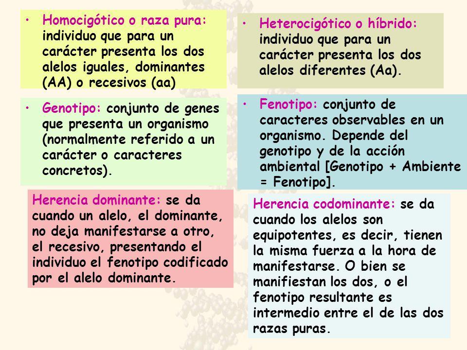 Homocigótico o raza pura: individuo que para un carácter presenta los dos alelos iguales, dominantes (AA) o recesivos (aa) Heterocigótico o híbrido: individuo que para un carácter presenta los dos alelos diferentes (Aa).