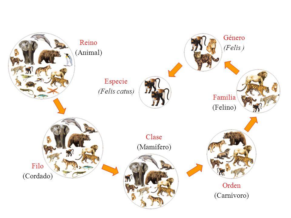 Especie (Felis catus) Género (Felis ) Familia (Felino) Orden (Carnívoro) Clase (Mamífero) Filo (Cordado) Reino (Animal)