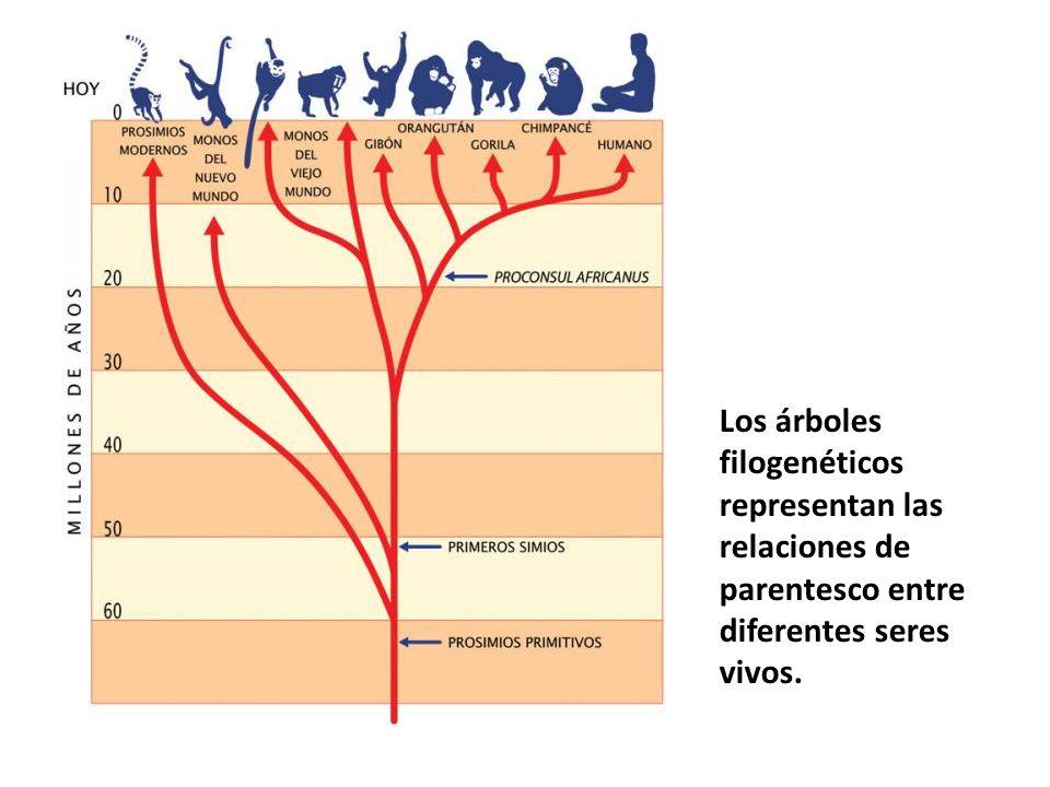 Los árboles filogenéticos representan las relaciones de parentesco entre diferentes seres vivos.