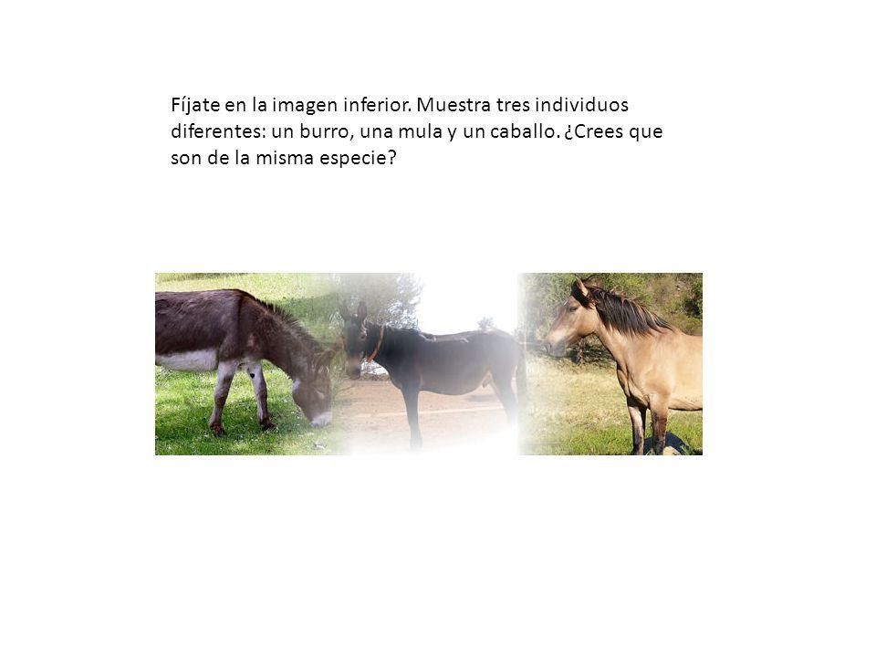 Fíjate en la imagen inferior. Muestra tres individuos diferentes: un burro, una mula y un caballo. ¿Crees que son de la misma especie?
