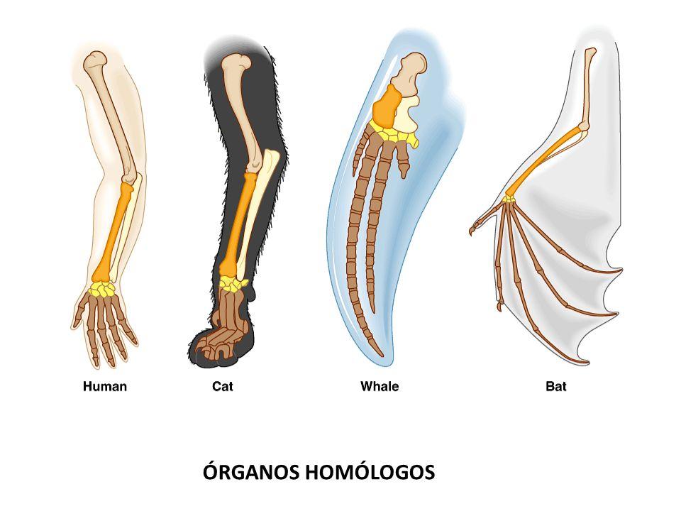Clasificaciones artificiales: Se basan en el estudio de órganos análogos.