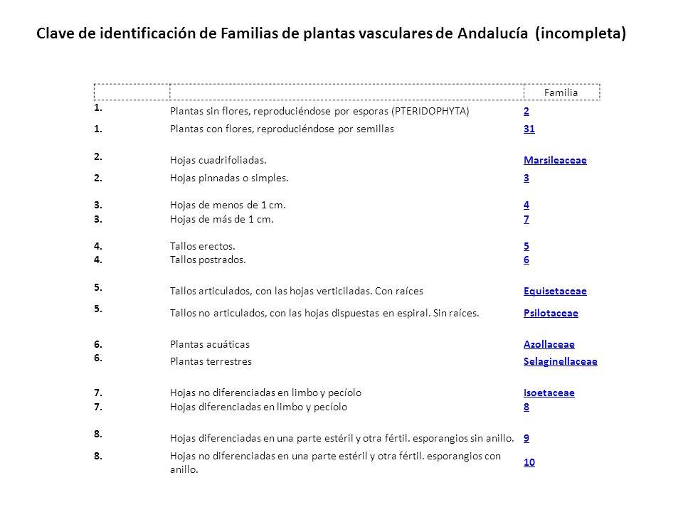 Familia 1. Plantas sin flores, reproduciéndose por esporas (PTERIDOPHYTA)2 1. Plantas con flores, reproduciéndose por semillas31 2. Hojas cuadrifoliad