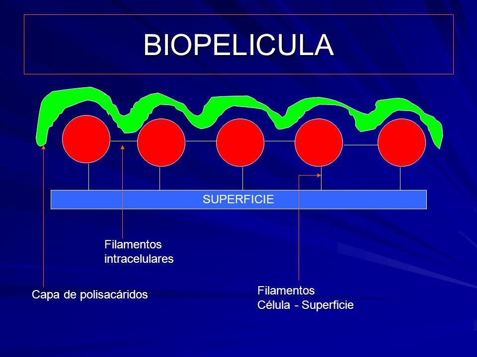 BIOPELICULA SUPERFICIE Filamentos intracelulares Filamentos Célula - Superficie Capa de polisacáridos