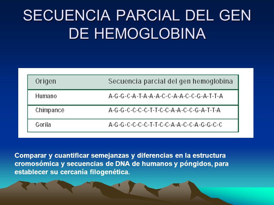 SECUENCIA PARCIAL DEL GEN DE HEMOGLOBINA Comparar y cuantificar semejanzas y diferencias en la estructura cromosómica y secuencias de DNA de humanos y