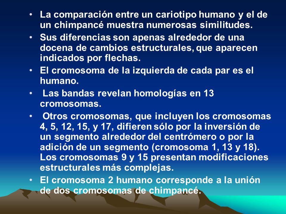 La comparación entre un cariotipo humano y el de un chimpancé muestra numerosas similitudes. Sus diferencias son apenas alrededor de una docena de cam