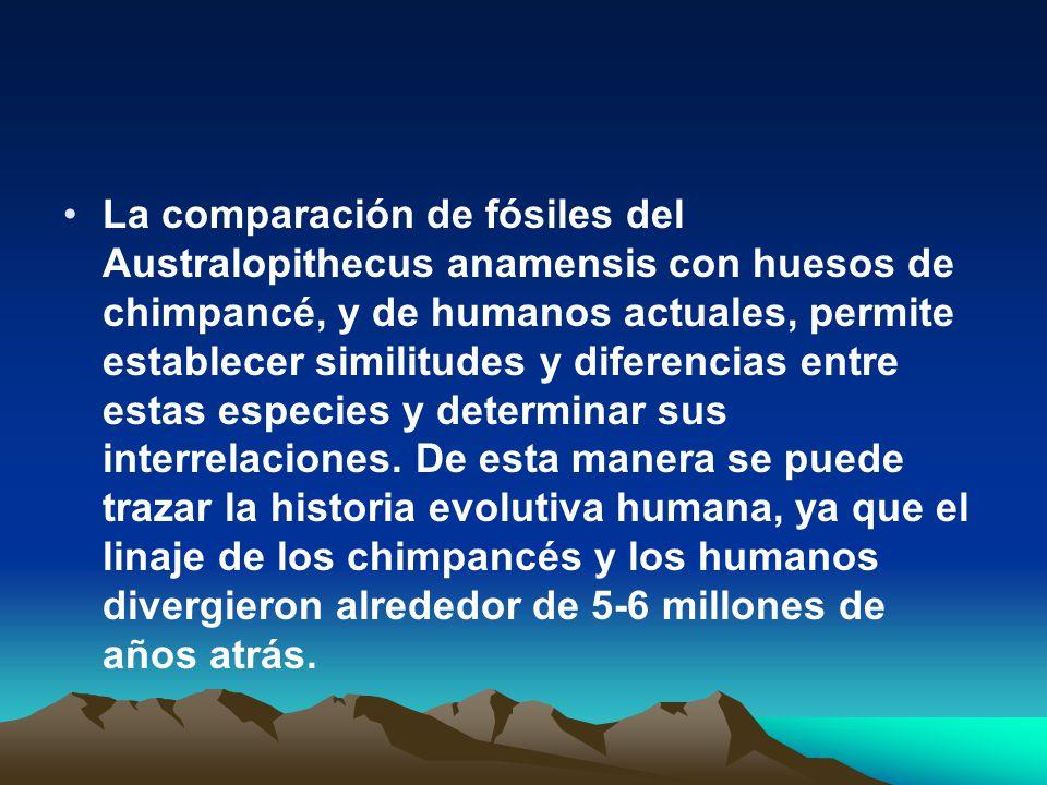 La comparación de fósiles del Australopithecus anamensis con huesos de chimpancé, y de humanos actuales, permite establecer similitudes y diferencias