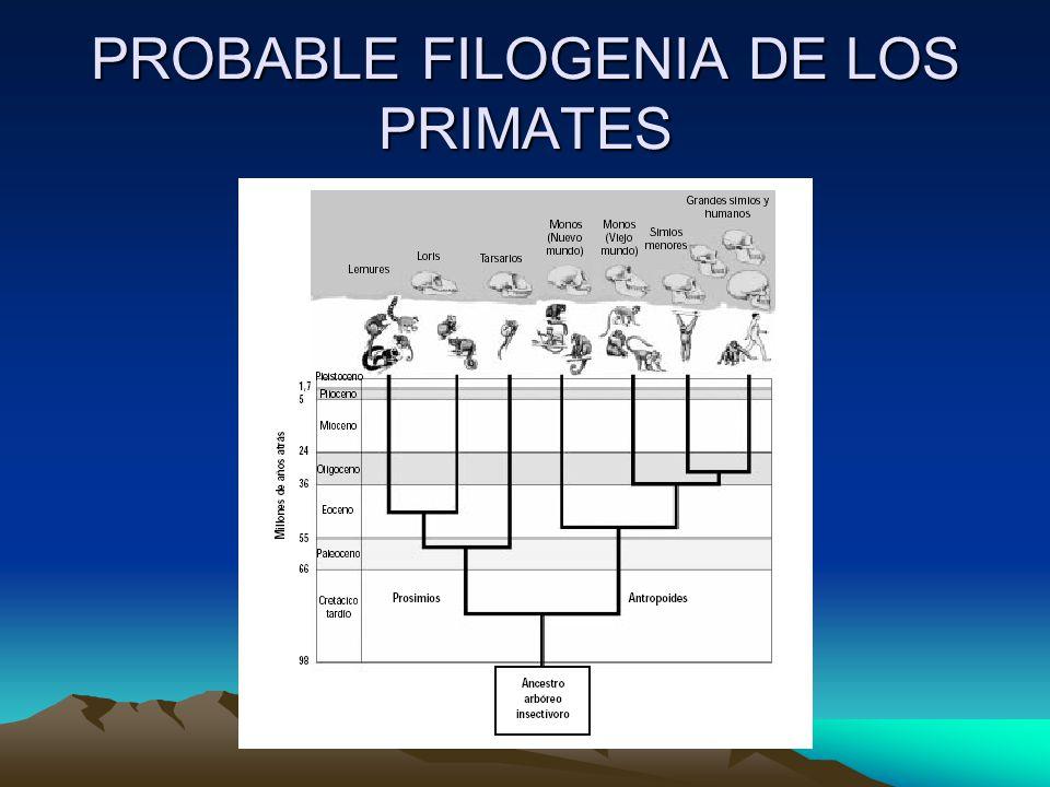 PROBABLE FILOGENIA DE LOS PRIMATES
