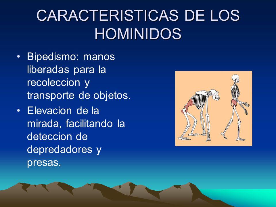 CARACTERISTICAS DE LOS HOMINIDOS Bipedismo: manos liberadas para la recoleccion y transporte de objetos. Elevacion de la mirada, facilitando la detecc