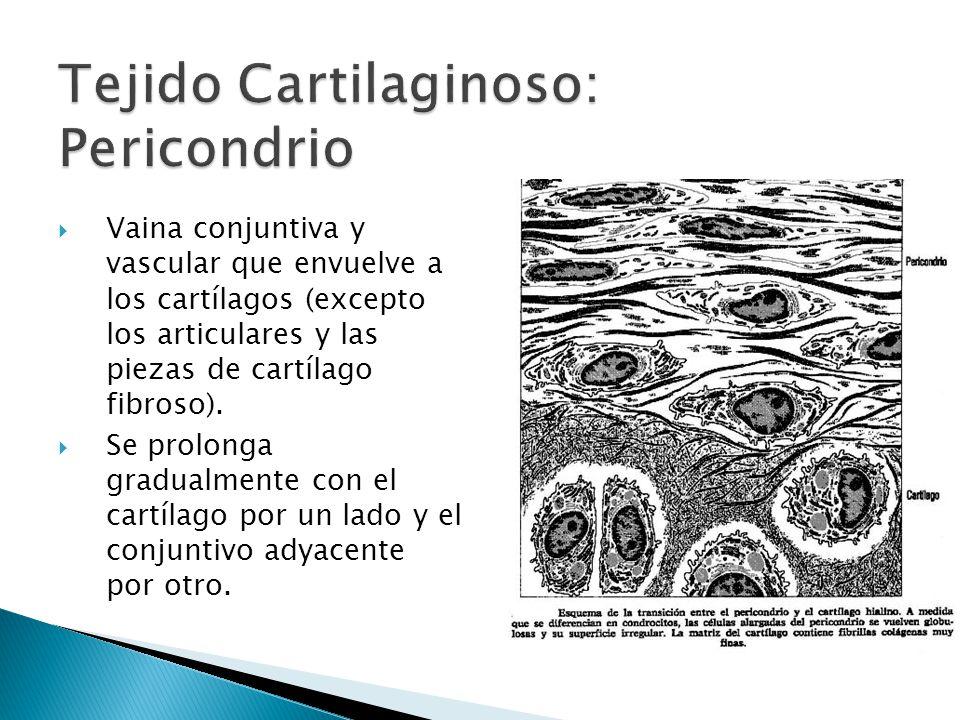 Está formado por: Zona condrógena: adyacente al cartílago, formado por células condrogénicas.
