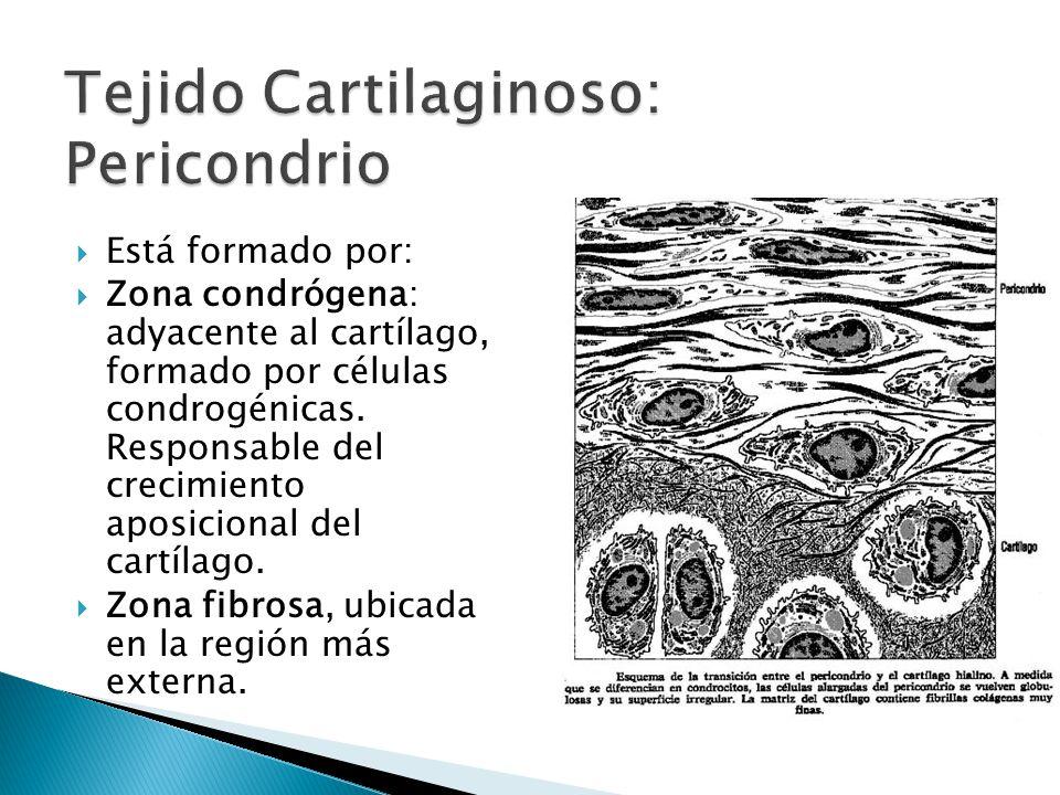 Centros de condrificación.Condroblastos- condrocitos.