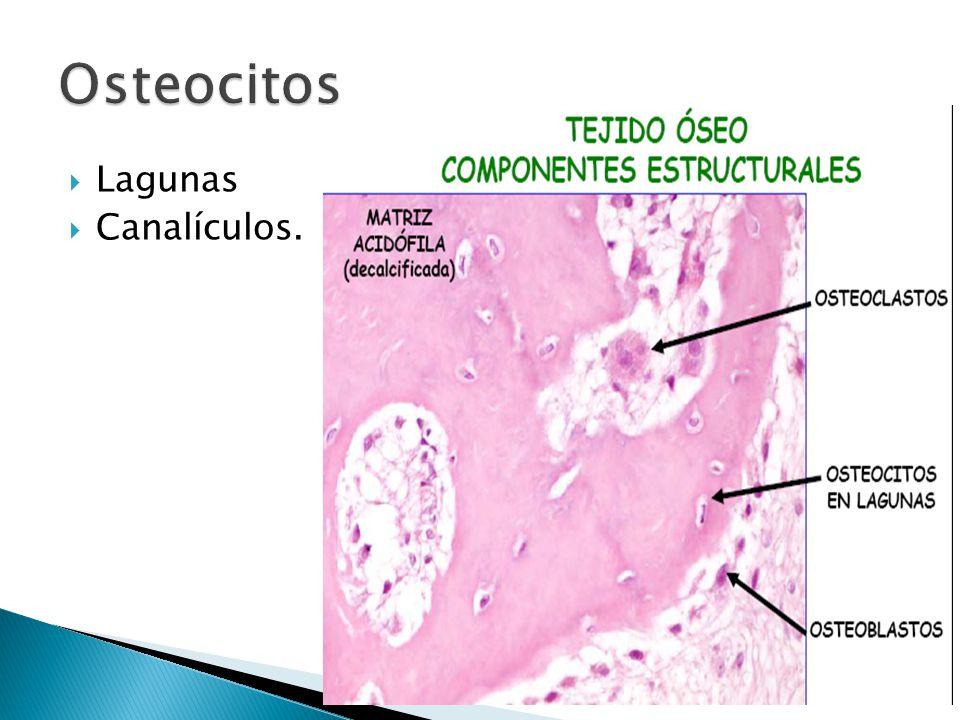 Células multinucleadas. Derivan de progenitores granulocitos macrófago. Función: resorción ósea.