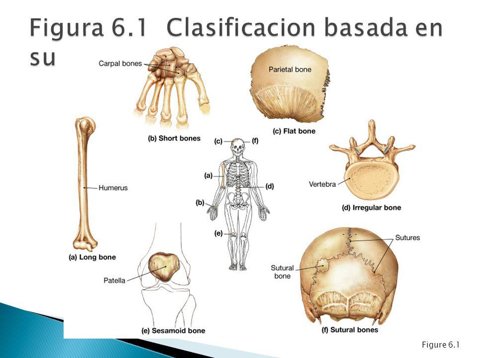 Hueso compacto.Hueso trabecular o esponjoso. Dos tipos de médula ósea: roja y amarilla.