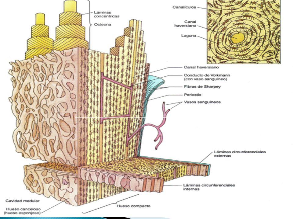 El canal está recubierto por osteoblastos y células osteoprogenitoras.