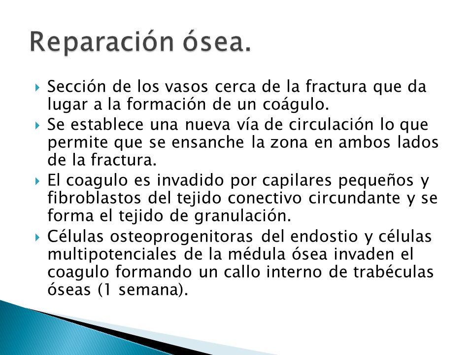 Se forma el collar óseo (formación intramembranosa) en la que se adhiere al hueso muerto y luego se forma exterior a este el cartílago.