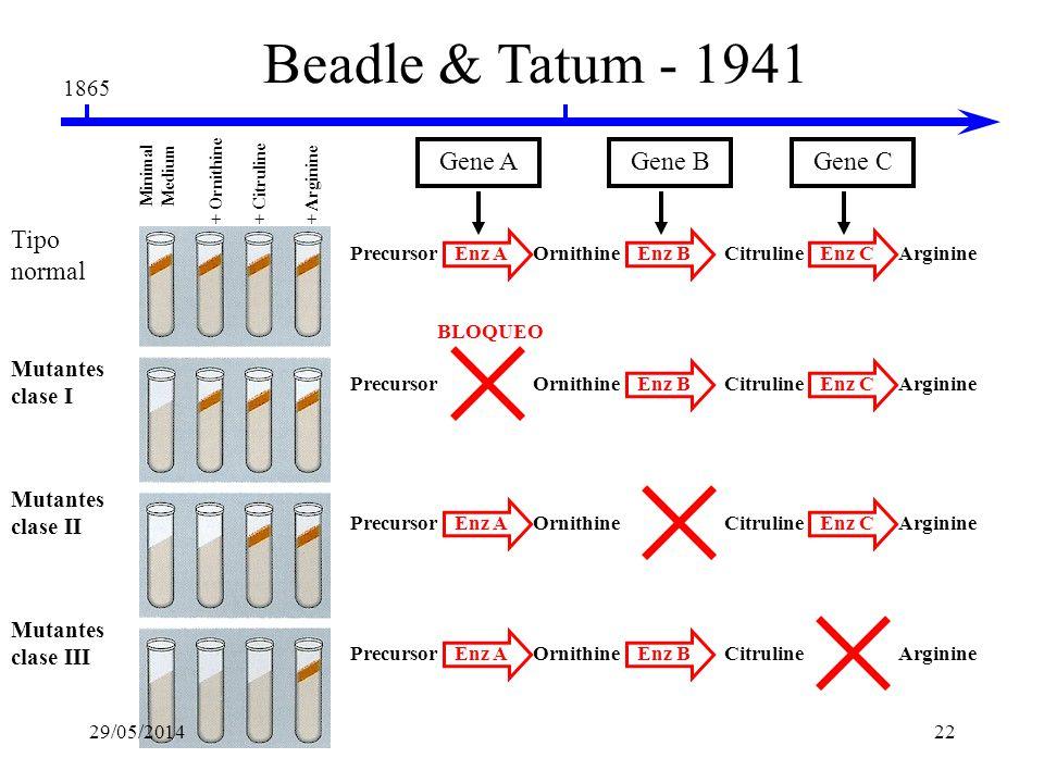 1865 Beadle & Tatum - 1941 La hipótesis un gen – una enzima Neurospora crassa X-rays Ascospores en medio completo medio mínimo No crecen los mutantes