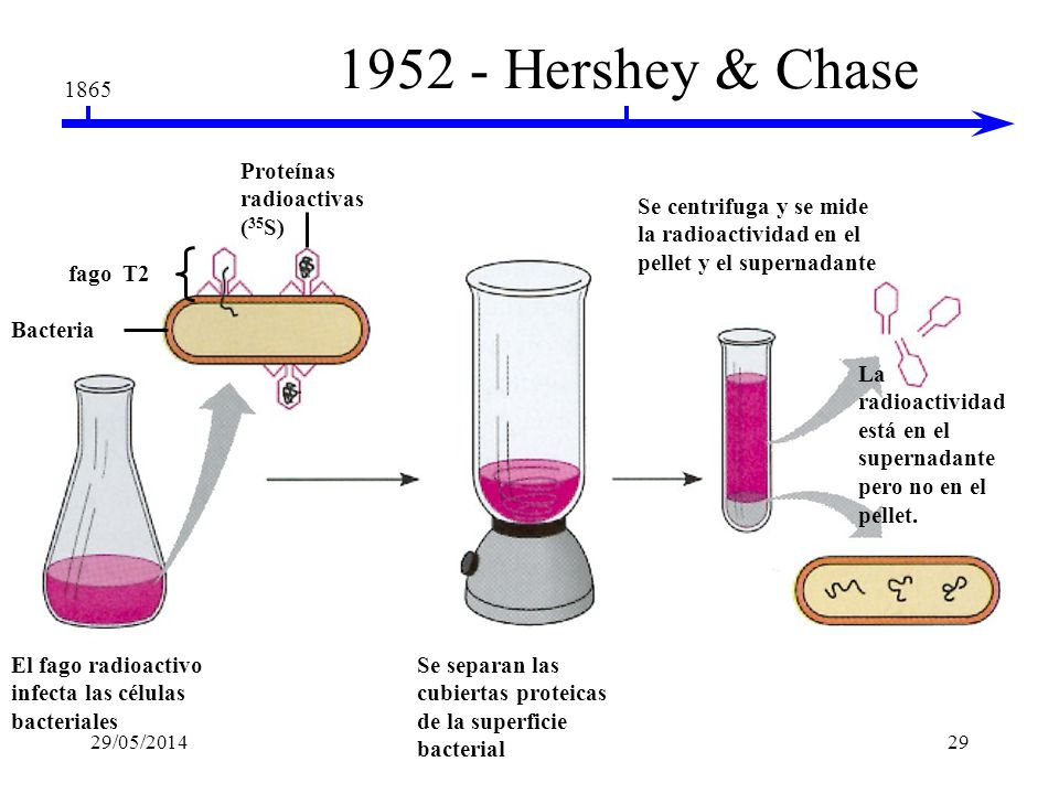 1865 1952 - Hershey & Chase El DNA viral (no las proteínas) programa las células Martha Chase & Alfred Hershey bacteriofagos 29/05/201428