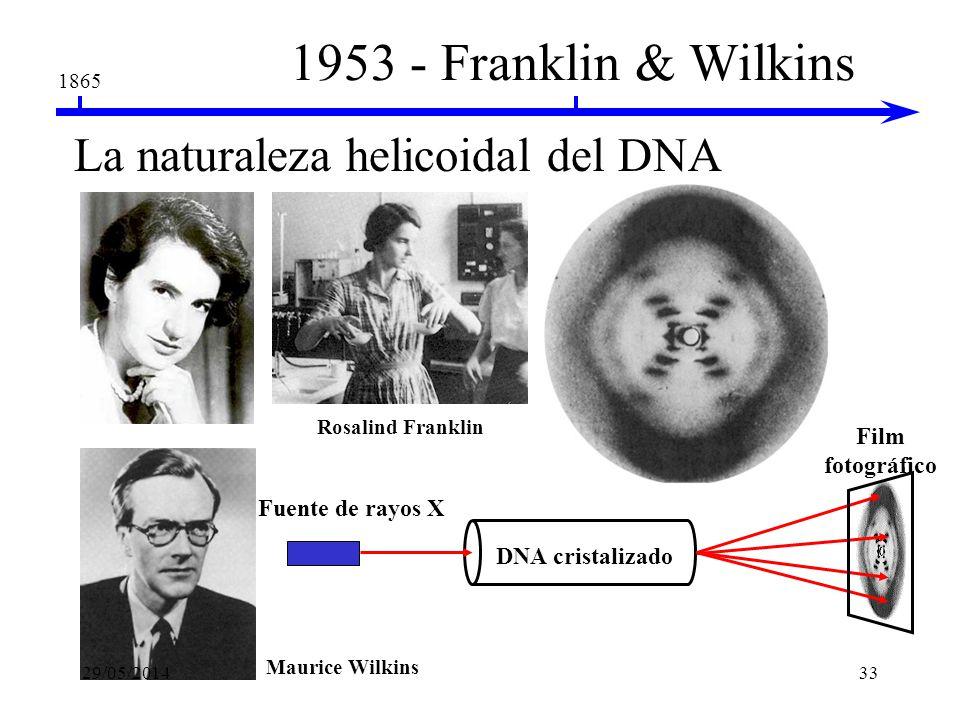 1865 1947 - Erwin Chargoff Las bases de DNA siguen ciertas reglas La composición es especie específica A = T, C = G en todas las especies 29/05/201432