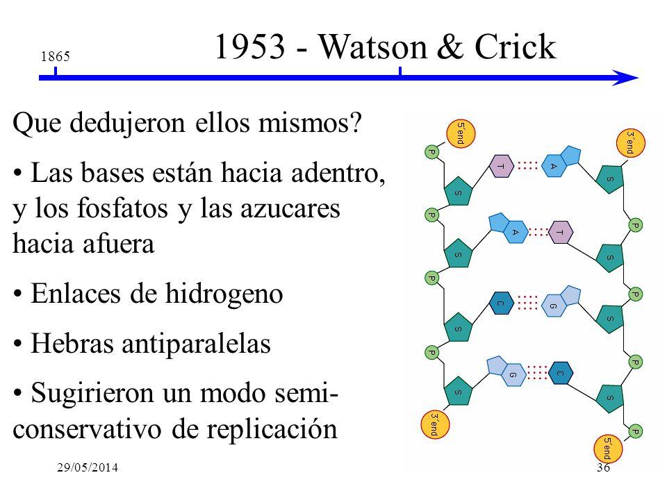1953 - Watson & Crick 1865 Que dedujeron de: Datos de R. Franklin hélice doble ancho uniforme de 2 nm bases separadas por 0.34 nm Chargoff la adenina
