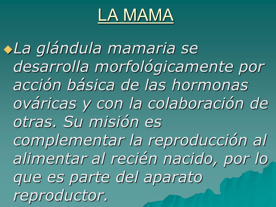 LA MAMA La glándula mamaria se desarrolla morfológicamente por acción básica de las hormonas ováricas y con la colaboración de otras. Su misión es com