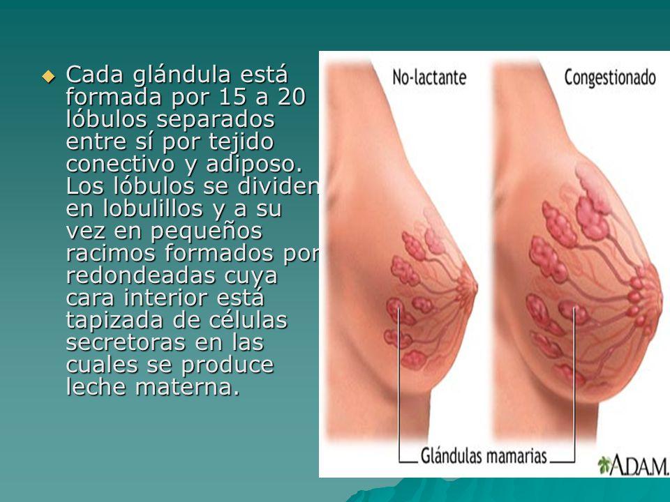 Cada glándula está formada por 15 a 20 lóbulos separados entre sí por tejido conectivo y adiposo. Los lóbulos se dividen en lobulillos y a su vez en p