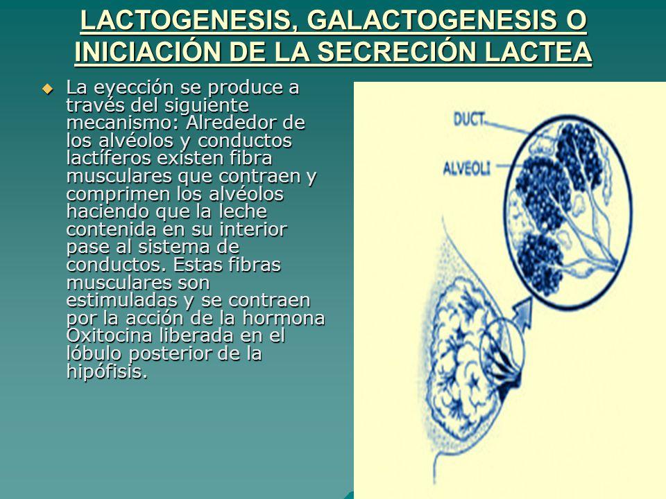 LACTOGENESIS, GALACTOGENESIS O INICIACIÓN DE LA SECRECIÓN LACTEA La eyección se produce a través del siguiente mecanismo: Alrededor de los alvéolos y
