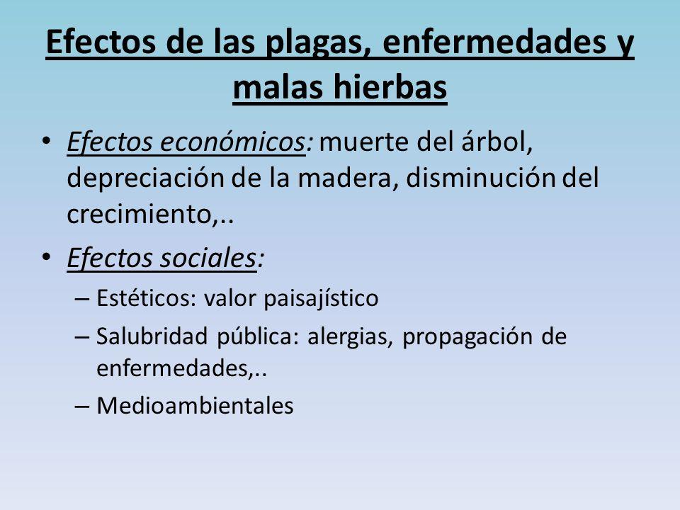 Efectos de las plagas, enfermedades y malas hierbas Efectos económicos: muerte del árbol, depreciación de la madera, disminución del crecimiento,..