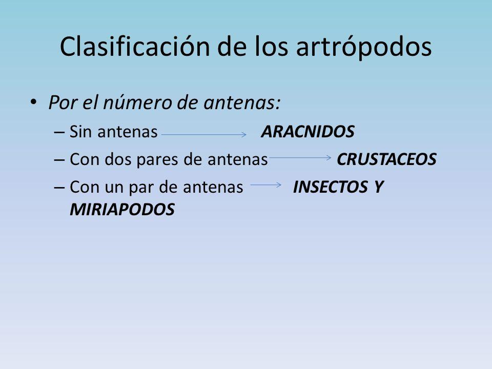 Clasificación de los artrópodos Por el número de antenas: – Sin antenas ARACNIDOS – Con dos pares de antenas CRUSTACEOS – Con un par de antenas INSECTOS Y MIRIAPODOS